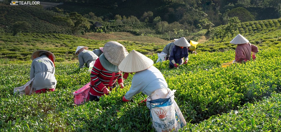Facts About Assam Tea